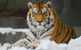 siberian tiger amur tiger facts for pictures habitat