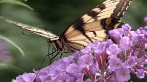 eastern tiger swallowtail butterflies narrated