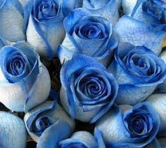 Blue Roses Multi Color Blue Roses So Cute Pinterest Blue Roses Color