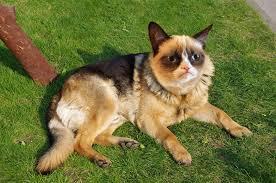 belgian sheepdog german shepherd mix grumpy dog the grumpy cat a german shepherd photoshop
