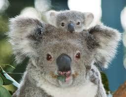 koala habitat diet information schoolworkhelper