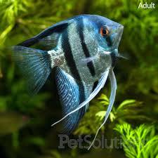 pictures of freshwater angelfish u003e live aquarium fish