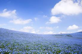Flowers In Japanese Culture - go see 4 5 million baby blue eye flowers at hitachi seaside park