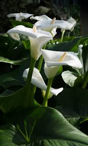 white calla lilies plant profile the calla grower direct fresh cut flowers