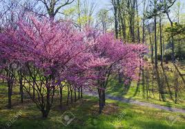 eastern redbud trees cercis canadensis at the university of