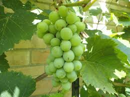 Planting Grapes In Backyard Homemade Garden Grape Jam Welch U0027s Take Note We Are Not Foodies