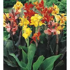 canna lilies shop 1 gallon canna lb3461b at lowes