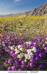 anza borrego wildflowers wild flowers anzaborrego desert state park stock photo 10314877