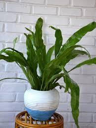 buy bird u0027s nest fern asplenium nidus u2022 www mudfingers com