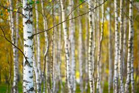 blurred natural background birch wallpaper with shallow depth of