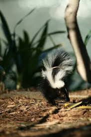 lavender skunk skunks pinterest animal exotic animals and
