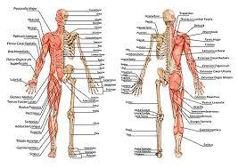 Abdominal Anatomy Quiz Muscle And Bone Anatomy Quiz