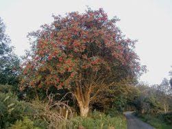 ephemera the celtic month of the rowan tree 21 january 17