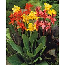 Canna Lilies Shop 4 Count Mixed Dwarf Canna Lily Lb3461a At Lowes Com