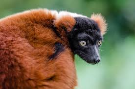 red ruffed lemur madagascar free image
