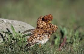 ruff audubon field guide