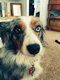 australian shepherd not eating heather covington lifebyheather twitter