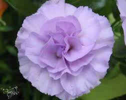 purple carnations purple carnation flower meaning dictionary auntyflo