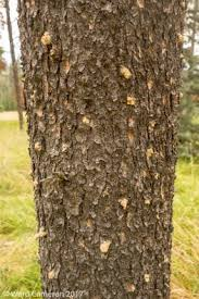 040 pine beetles bring fears and major a b rogers surveys