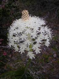 native alberta plants bear grass