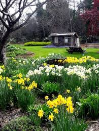 botanical gardens fort bragg ca festival of lights daffodils at the mendocino coast botanical gardens picture of