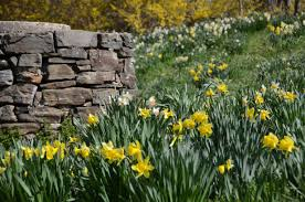 daffodils archives a garden for all