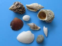 Assorted Seashells Wholesale Medium Philippine Assorted Seashells In Bulk 1 2 To 2