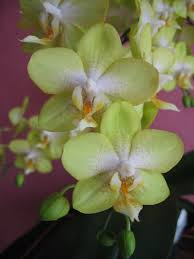 moth orchid how to care for your phalaenopsis moth orchid a step by step