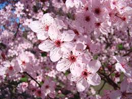 pink flower tree velveteen rabbi thank you god for the flowers on the trees