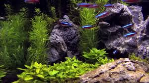 Marine Aquascaping Techniques Aquascape Tips Cardinal Neon In An Aquascape Tetra Rotala Youtube