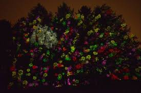 tree lights at the morton arboretum illumination puts spotlight on morton arboretum