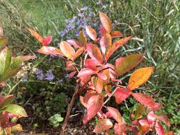 native plants for birds native shrubs for fall color and wildlife benefits the national
