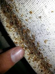 Rug Bugs Carpet Damage Insects Carpet Nrtradiant