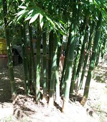 davis bamboo species list
