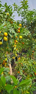 about us commercial citrus trees for sale sunset nursery inc