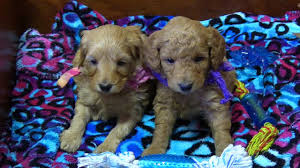 tessa u0027s f1b mini goldendoodle puppies on 5 23 2017 youtube