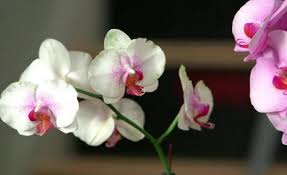 orchids pictures how to grow orchids miracle gro