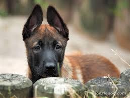 belgian shepherd wallpaper index of dog breeds belgian malinois images full