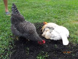 Backyard Chickens Com by Chicken Breed Focus Holland Backyard Chickens