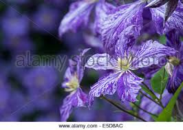 tie dye flowers clematis tie dye flowers late large flowered clematis stock photo
