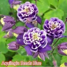 columbine plant 50pcs new aquilegia seeds blue columbine flower plant home