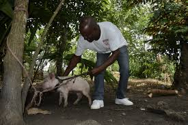 insecurity in dominican countryside threatens local food supply