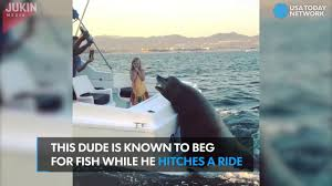 huge sea lion hitches a ride on the back of boat youtube
