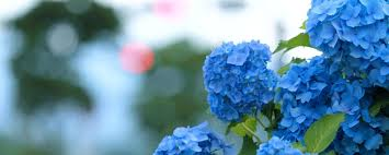 hydrangea bloom blue green widescreen high definition
