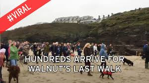 heartbroken owner of walnut the whippet announces he died shortly