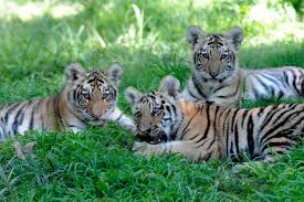 amur tiger cubs debut at bronx zoo cbs york