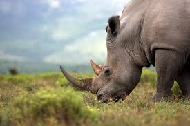 rhino horn auction