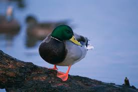 mallards hybridize their cousins out of existence