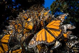 Monarch Migration Map Migrating Monarch Butterflies Use Magnetic Compass To Cut Through
