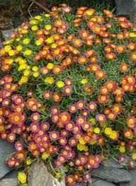 winterharte pflanzen balkon winterharte balkonpflanzen schleierkraut gypsophila balconies